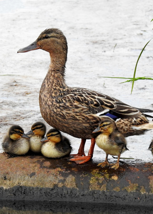 Kaczka z dziećmi, kaczątkami/ obraz royalty free