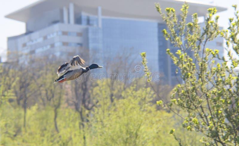 Kaczka zdejmuje w miasto parku obrazy stock