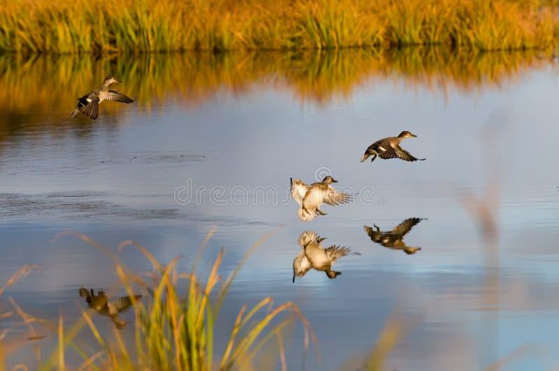 kaczki obraz stock