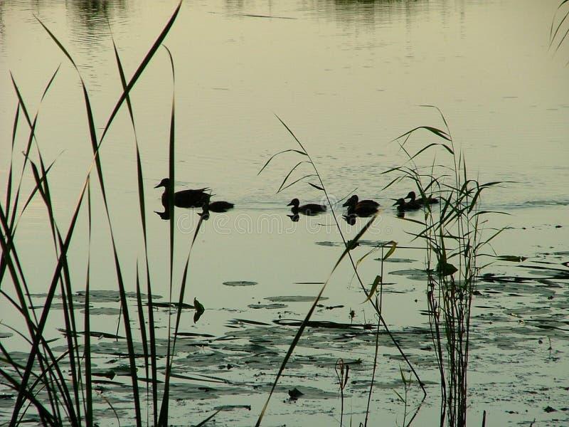 Download Kaczki zdjęcie stock. Obraz złożonej z morze, trawy, brąz - 128950