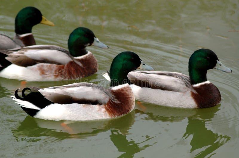 kaczki zdjęcia stock