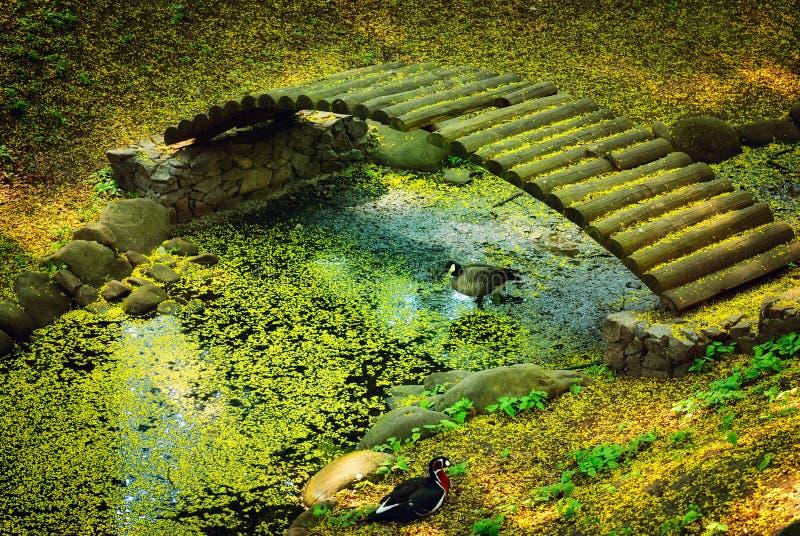 kaczki bridżowa woda obraz royalty free
