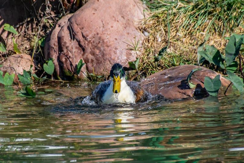 Kaczki chełbotania, preening i czyścić piórkowy upierzenie w jeziorze, obraz stock