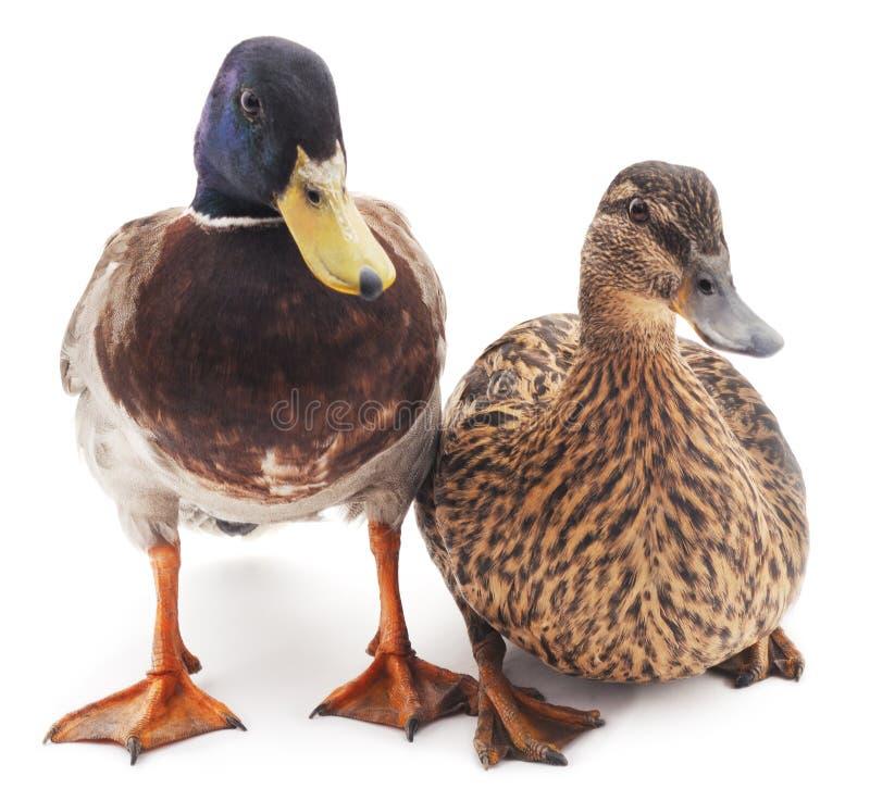 kaczki dzikie dwa zdjęcia royalty free
