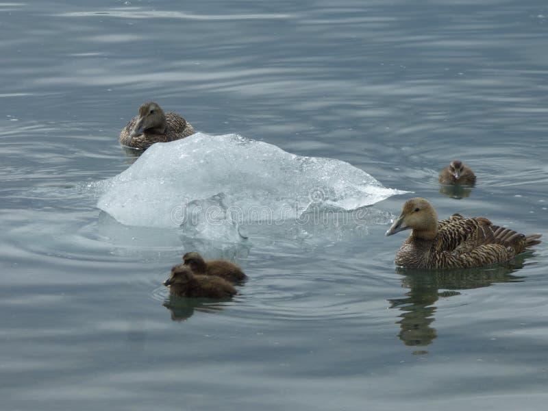 Kaczki i góra lodowa obrazy stock