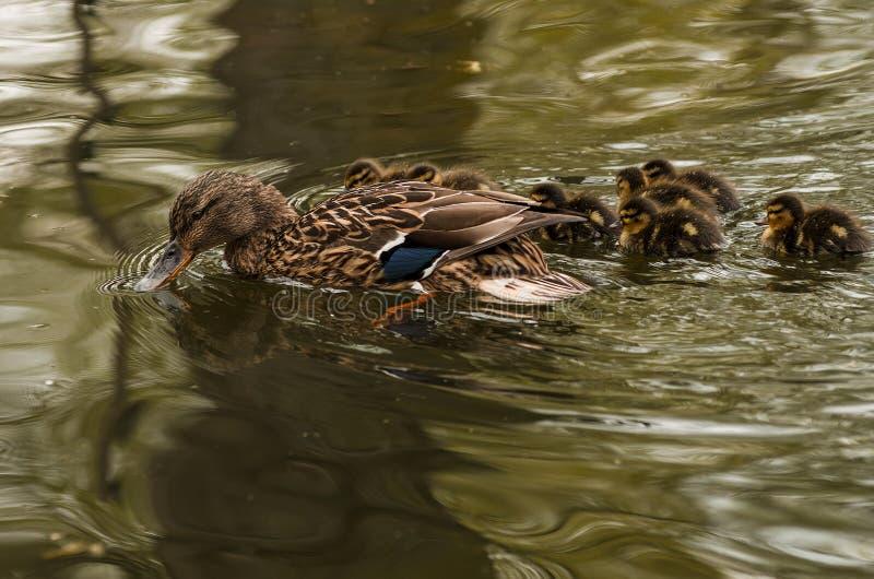 kaczki i kaczątek pływać obraz stock