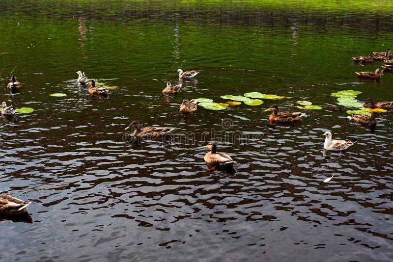 Kaczki i larus pławik zdjęcia stock