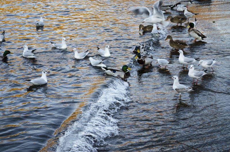 Kaczki i seagulls obraz stock