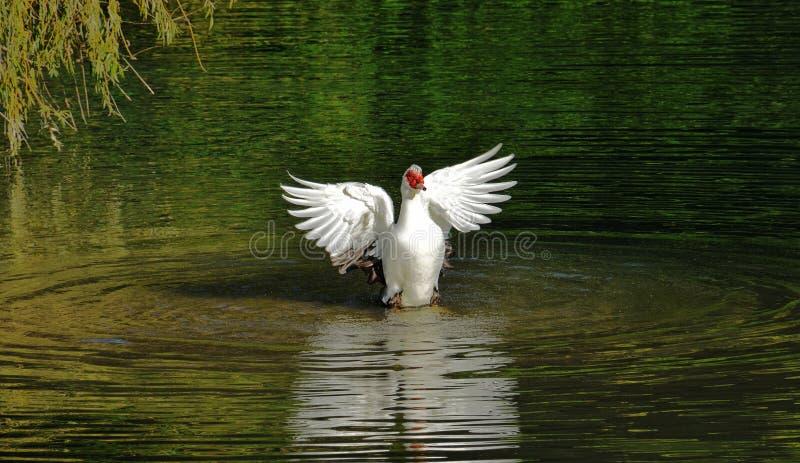 kaczki kąpielowa niemowa zdjęcie stock