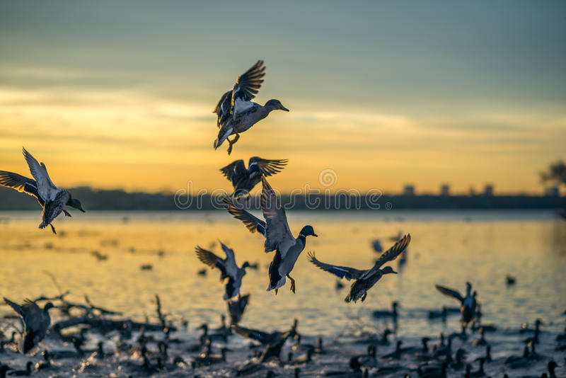 Kaczki Ląduje przy zmierzchem obrazy stock