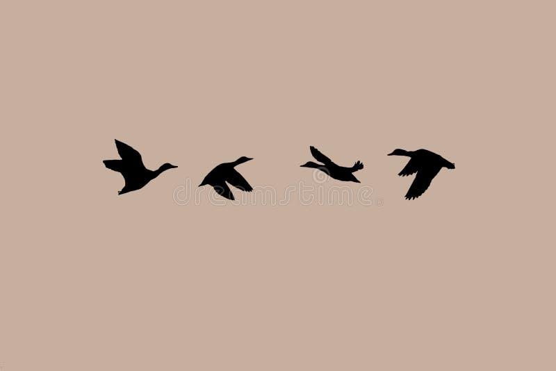 Kaczki lata w parach w opposite kierunku obraz stock