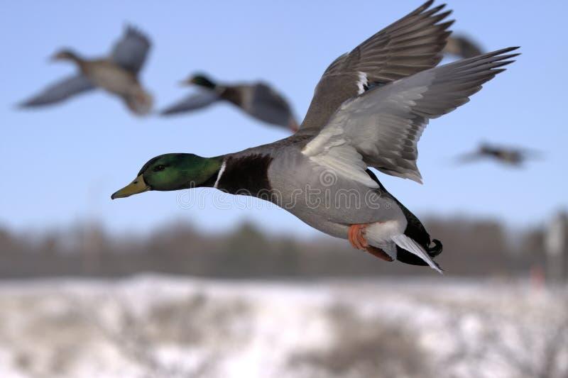 kaczki latanie obraz royalty free