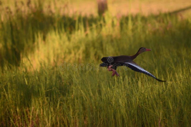 Kaczki latanie obrazy stock
