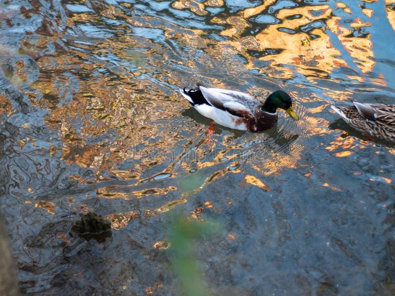 Kaczki lounging wokoło parka fotografia stock