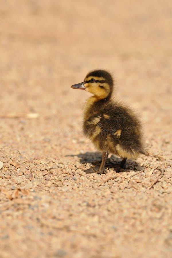 kaczki mallard mały dziki zdjęcie stock