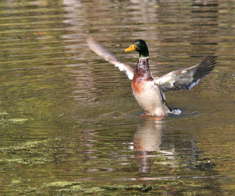 kaczki mallard rozprzestrzeniania się skrzydła zdjęcie stock