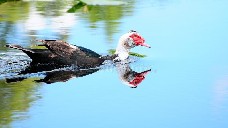 kaczki Muscovy odbicie zdjęcia stock