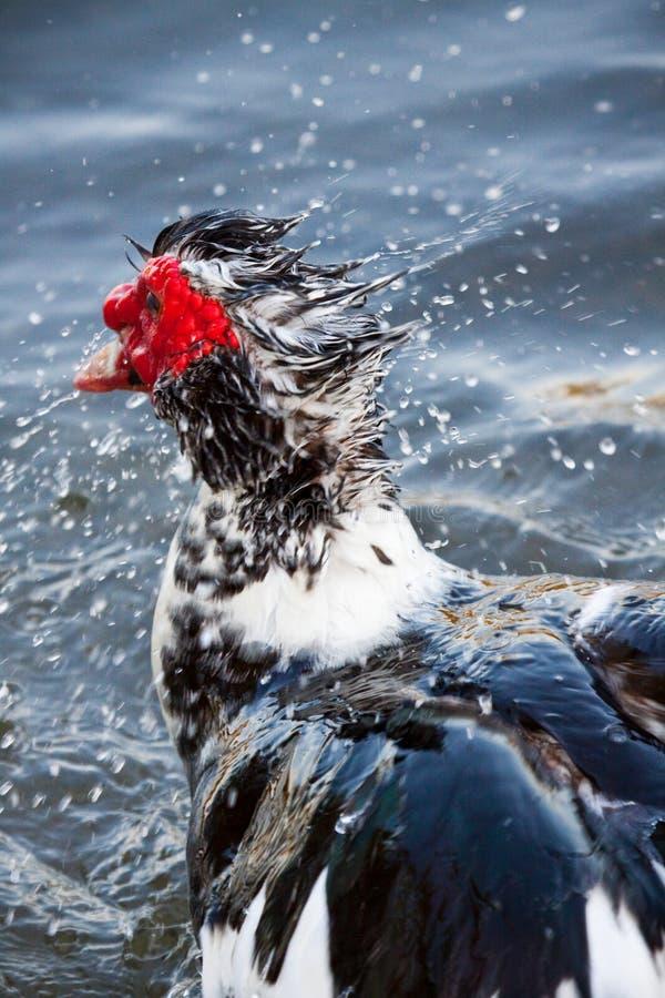 kaczki Muscovy woda zdjęcia royalty free