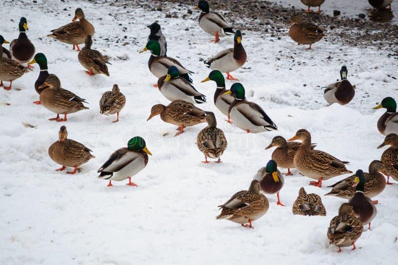 Kaczki na śniegu obrazy royalty free