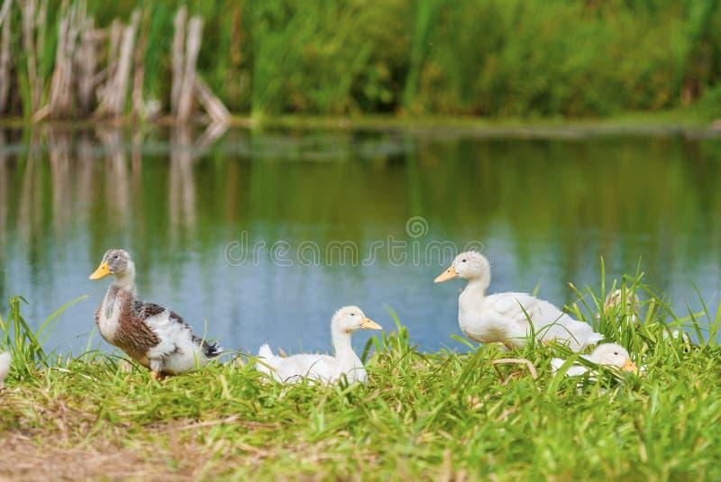 Download Kaczki na brzeg obraz stock. Obraz złożonej z brzeg, woda - 28950541