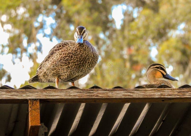 Kaczki na dachu zdjęcia stock