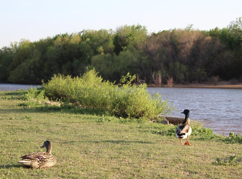 Kaczki na Hefner jeziorze, Oklahoma miasto obraz stock