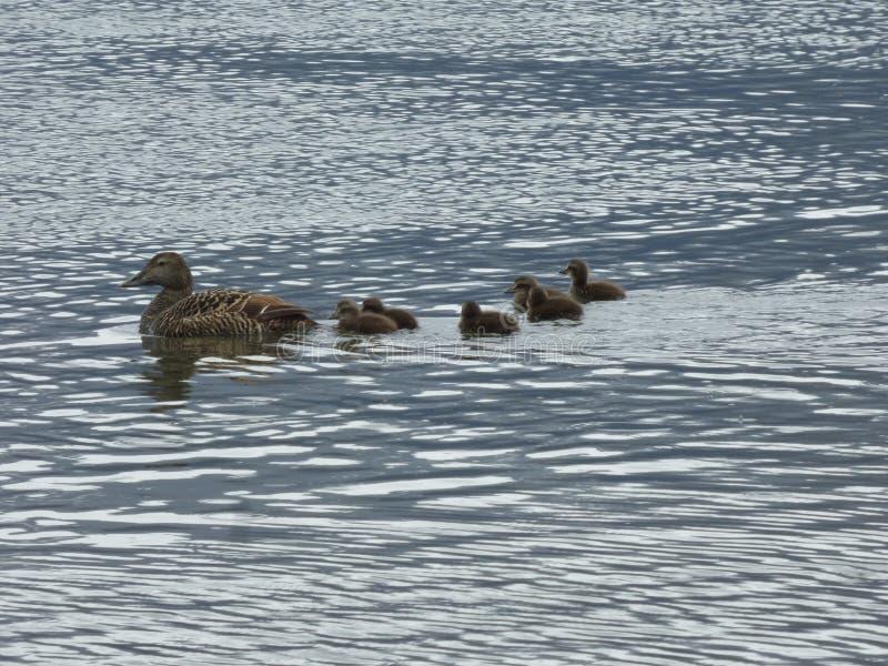 Kaczki na lagunie obrazy royalty free