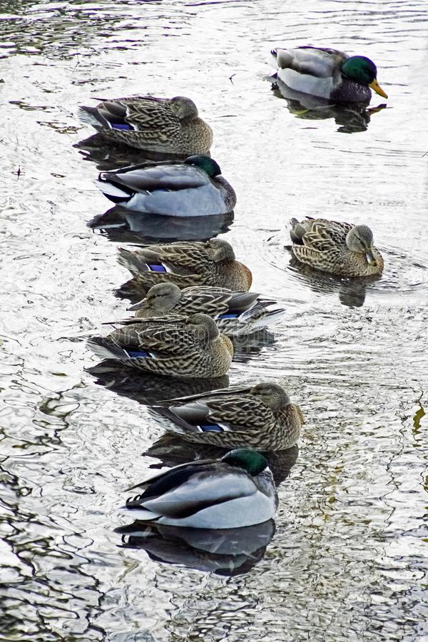 Kaczki na mroźnym dniu siedzą na wodzie Ptactwo wodne Jest bardzo zimno zdjęcie royalty free
