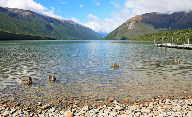 Kaczki na Rotoiti jeziorze fotografia stock