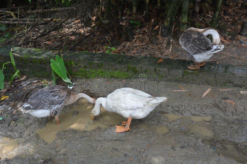Kaczki na wiosce patrzeje dla jedzenia obrazy stock