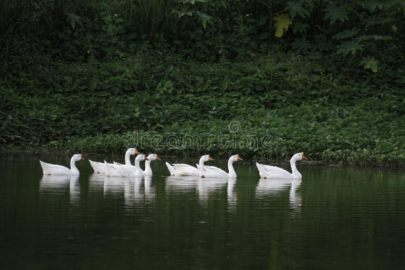 Kaczki pływa & opowiada obrazy royalty free