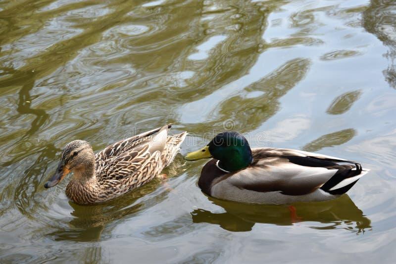 Kaczki pary wiosny flirt obraz royalty free