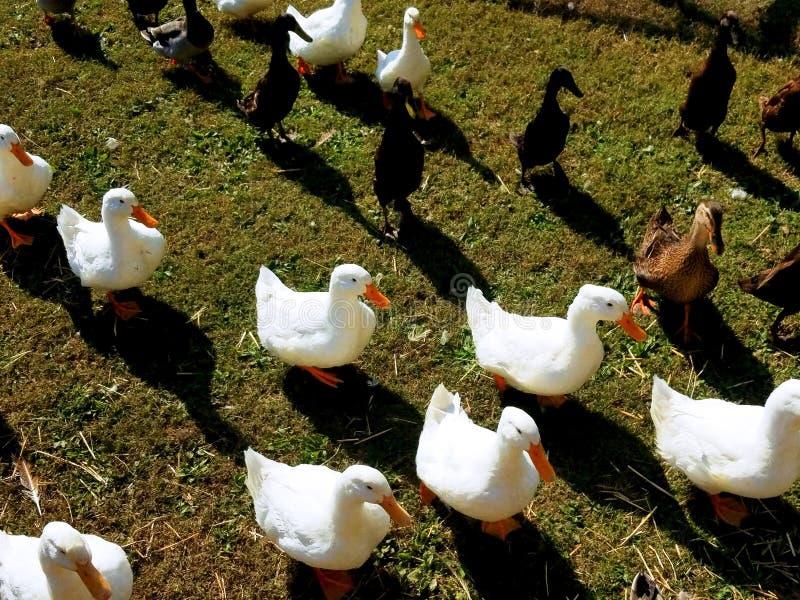 Kaczki potrzebują karmiącym zdjęcia royalty free