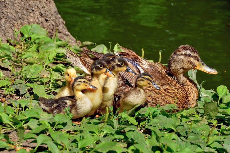 Kaczki rodzina zdjęcia stock