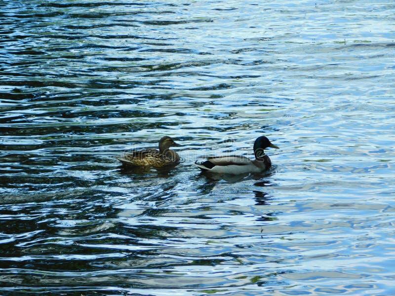 Kaczki rodzina na wodzie zdjęcia royalty free