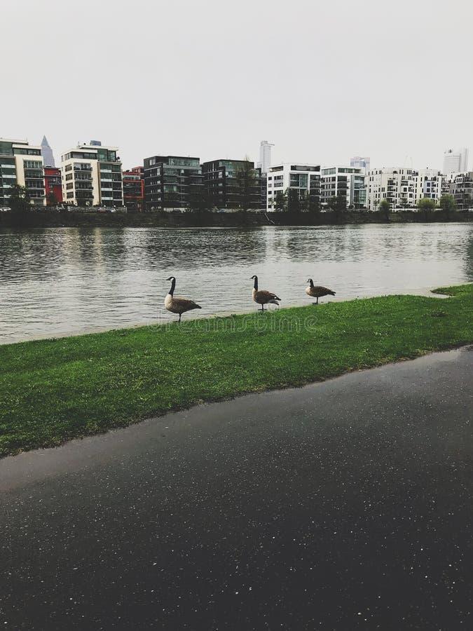 Kaczki rzeką obraz stock