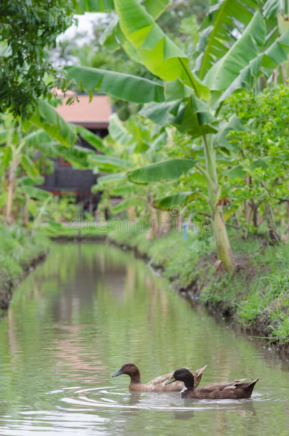 Kaczki są zwierzęciem domowym w rzece na gospodarstwie rolnym obraz stock