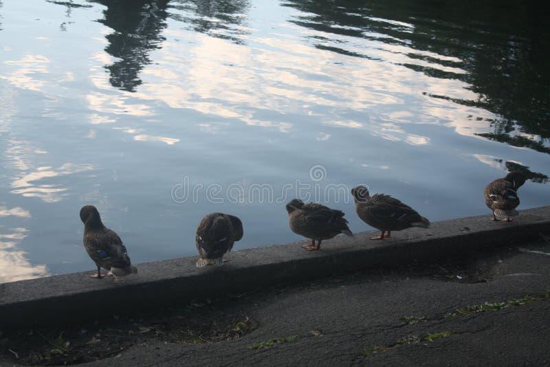 Kaczki suszy daleko wody krawędzią zdjęcia royalty free