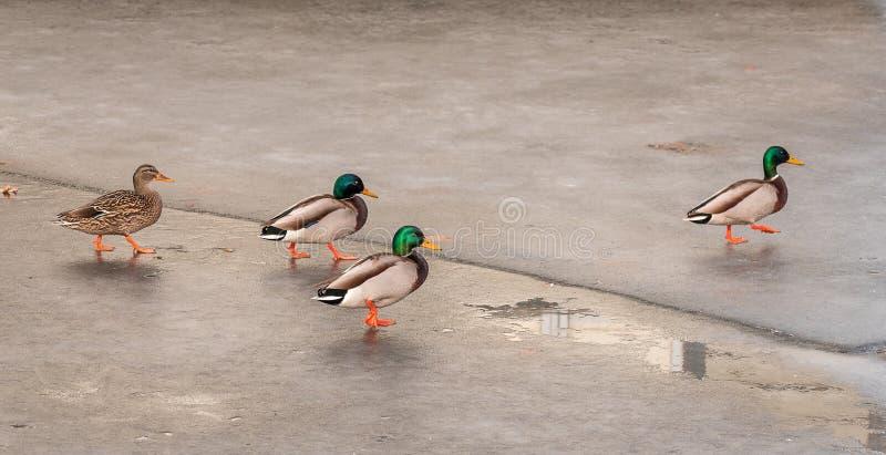 Kaczki tanczy na lodzie obrazy royalty free