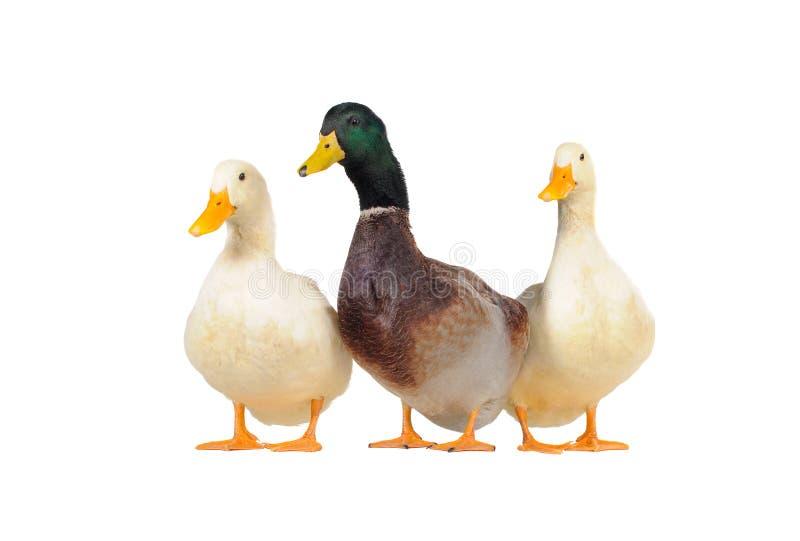 kaczki trzy fotografia royalty free