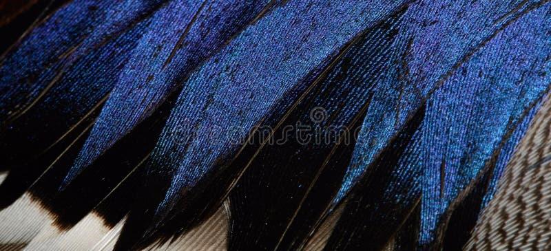 kaczki upierzenie zdjęcia royalty free