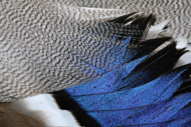 kaczki upierzenie obrazy stock