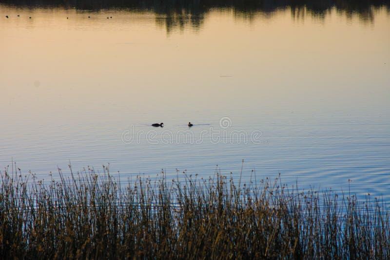 Kaczki ustawia na wodzie fotografia stock