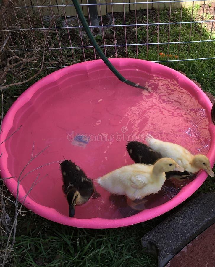 Kaczki w basenie obrazy royalty free