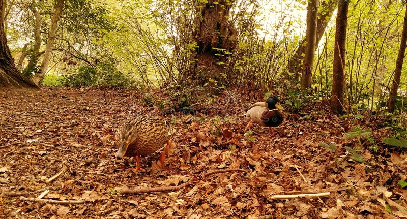 Kaczki w lasowym pobliskim jeziorze, Południowy wzgórze park, Bracknell, UK zdjęcia stock
