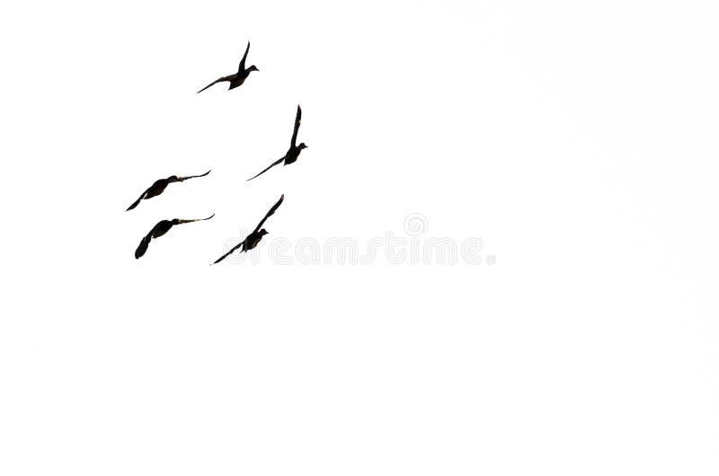 Kaczki w locie i Sylwetkowy na Białym tle obraz stock
