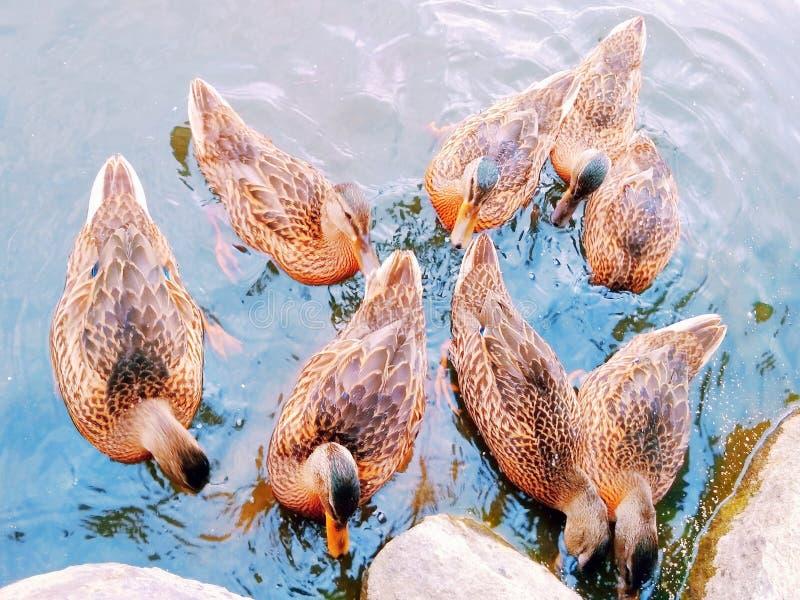 Kaczki w parku zdjęcie stock