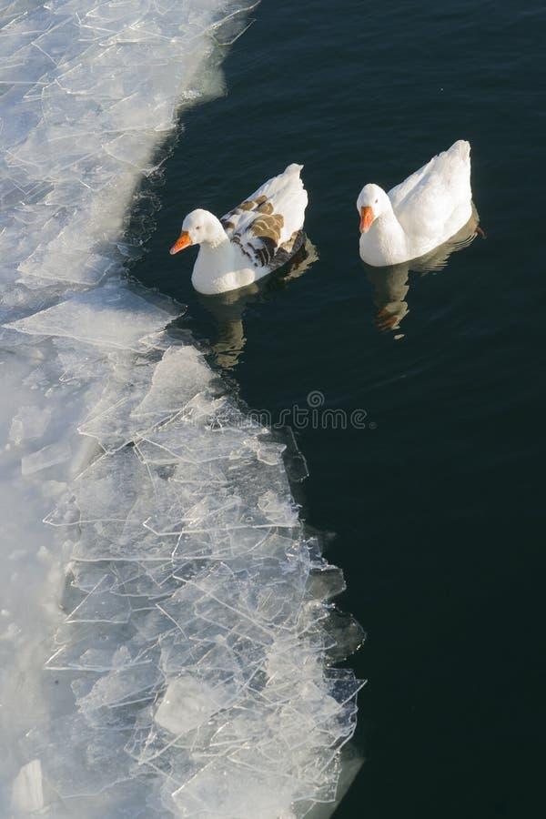 Kaczki w połówka marznącym jeziorze fotografia stock