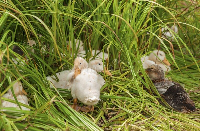 Download Kaczki w trawie zdjęcie stock. Obraz złożonej z trawy - 28950552
