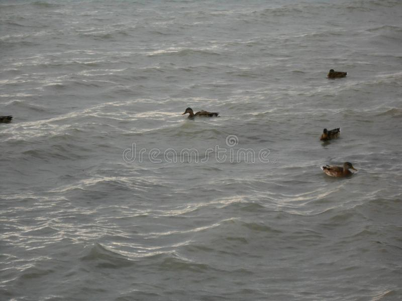 Kaczki w wodnym hungarian morzu zdjęcia royalty free